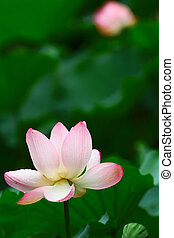 close up of the beautiful lotus flower in blooming - shing...