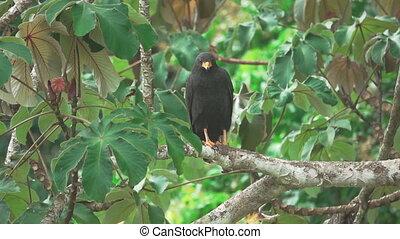 Black eagle over branch in super slow motion - Long shot of...