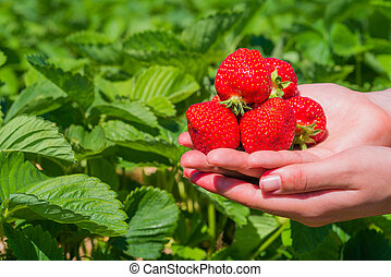 Handful fresh picked delicious strawberries held over...