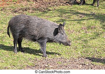 Wild Boar - Wild boar out in the open