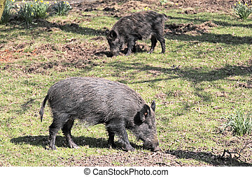 Wild Boar - Two wild boar sniffing for roots