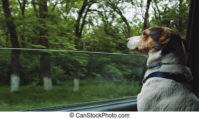 Dog peeking in from the open window of the car. - Small dog...