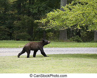 Plum robbing bear - Black bear that is coming in to eat from...