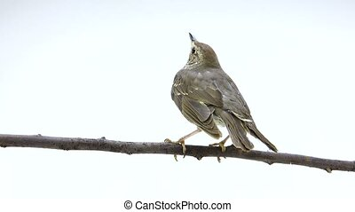 Song Thrush (Turdus philomelos) isolated on a white...