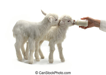 goat kid feeding from a milk bottle isolated on white