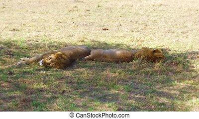 male lions sleeping in savanna at africa - animal, nature...