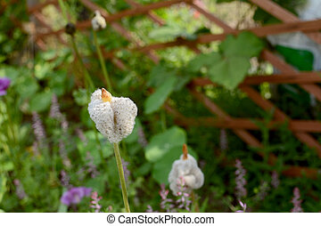 Fluffy white anemone de caen seed heads unfurling - Fluffy...