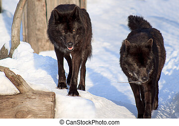 Two black canadian wolf are watching their prey. Animal...