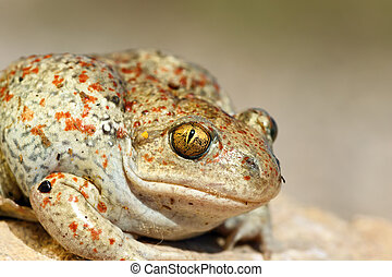 portrait of common spadefoot