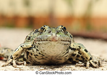 portrait of marsh frog