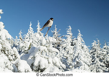 Snow Bird - A bird I found on top of a snowy mountain