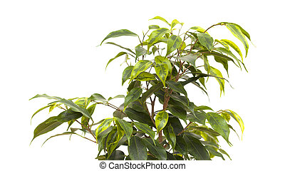 Weeping fig isolated - Weeping fig house plant isolated on...