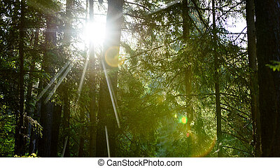 lens flares of light in forest in early summer morning