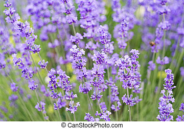 Lavender flowers field. - Lavender flowers field, close-up...