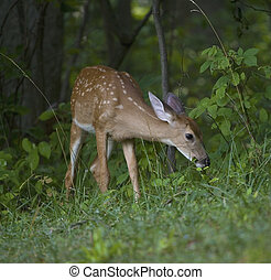 Grazing deer fawn - Whitetail deer fawn in a forest eating...