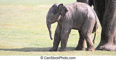 Wobbly Legs - A 6 day old Asian elephant calf appears to be...