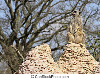 Meerkat Sentry - Meerkat sentry duty for the colony