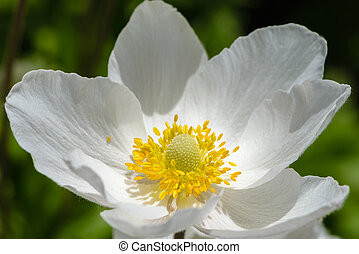 Snowdrop anemone blossom - large white flower with yellow stamens
