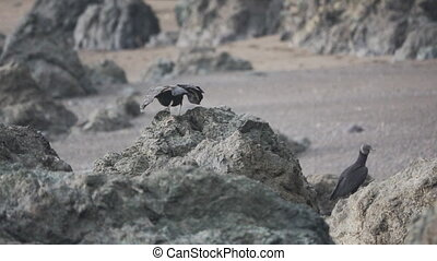 Black Vulture taking off from top of the rock in slow-motion...
