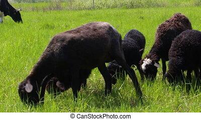 Sheep graze on meadow