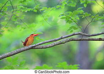 Ruddy kingfisher (Halcyon coromanda) in Japan