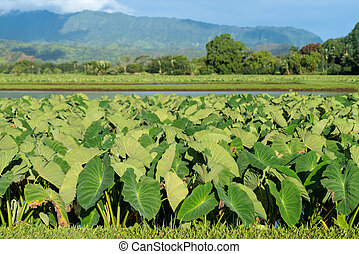 Taro plants in Hanalei Valley in Kauai - Hanalei Valley on...