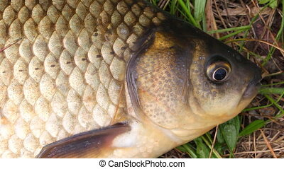 The head is small carp close up 1