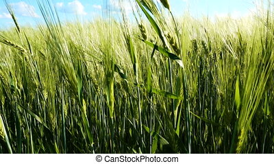 Green wheat field under blue sky with clouds
