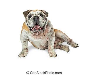Happy Old English Bulldog Sitting Smiling