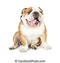 Cute English Bulldog Sitting Tongue Out