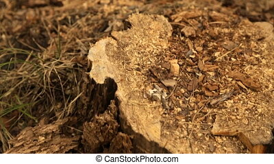 Stump from a cut tree in the forest - Sawdust on the stump...
