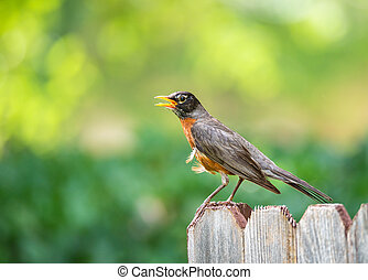 American robin (Turdus migratorius) perched on wood fence....