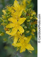 St Johns wort lat Hypericum perforatum