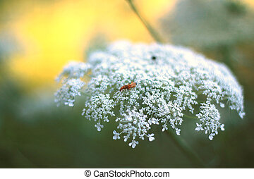 Queen Annes Lace close up - Queen Annes Lace flower plant...