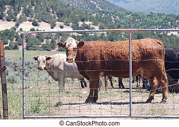 Cattle at Gate