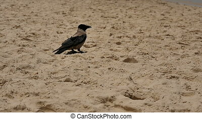Crow standing on the sand beach. Slow motion. Professional...