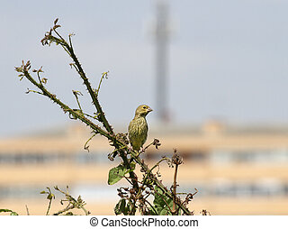 Little bird perched in the bushes. Spring, north of...