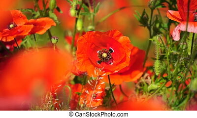 Beautiful field red poppies with selective focus. Opium...