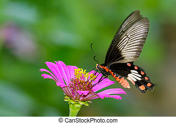 Image of Common Rose Butterfly on nature background. Insect...