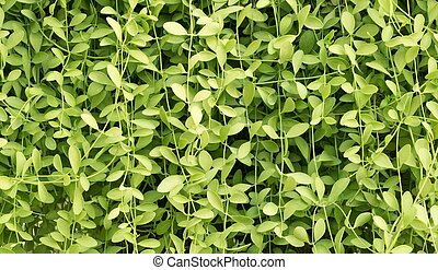 Green Color of Horizontal Creeper Plant Background -...