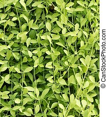Green Color of Vertical Creeper Plant Background -...