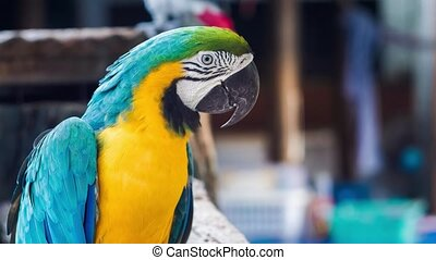 Blue yellow golden macaw parrot. Ara ararauna.