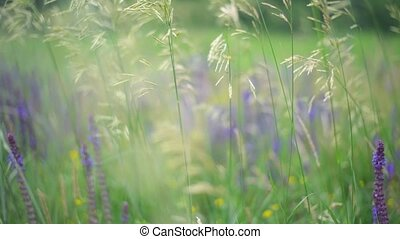 Purple lupines blooming in a field. The green grass slowly...