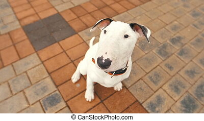 Cute puppy of bull terrier - white bull terrier puppy...