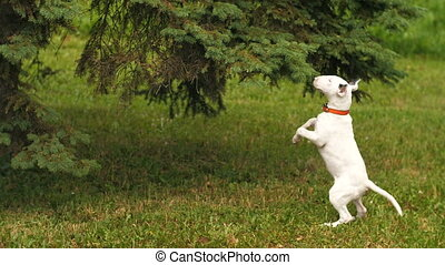 Bull terrier stands on its hind legs - Slow motion. Happy...
