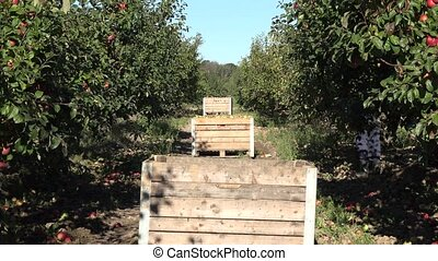 wooden box full of fresh apple after picking in plantation....