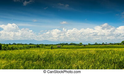 Green rice field under clouds time lapse