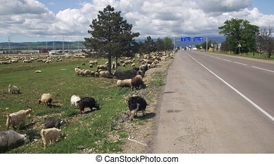 Flock of Sheep Grazing in the Field near the Highway against...