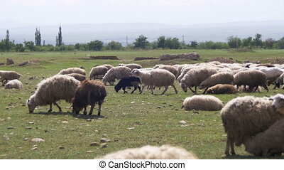 Herd of Sheep Grazing in the Field against the Backdrop of...