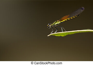 Image of Libellago lineata lineata dragonfly on nature...